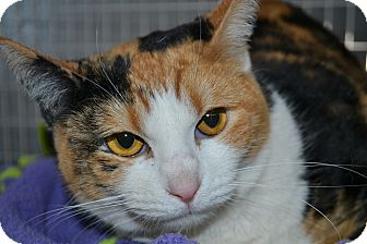 Domestic Shorthair Cat for adoption in Edwardsville, Illinois - Snickers