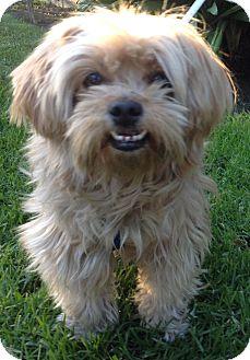 Shih Tzu Mix Dog for adoption in Poway, California - ANGELICA