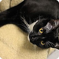Adopt A Pet :: Tuxie - Mission, BC
