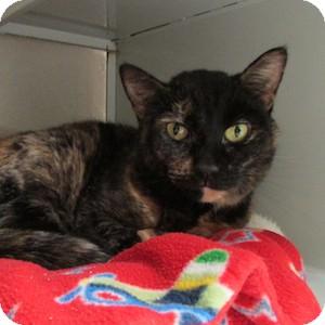 Domestic Shorthair Cat for adoption in Gilbert, Arizona - Princess Monstertruck