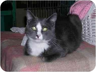 Domestic Shorthair Kitten for adoption in Pascoag, Rhode Island - Theo
