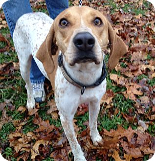 English Pointer Dog for adoption in Indianapolis, Indiana - Bella