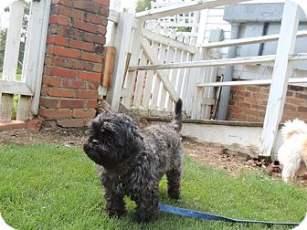 Poodle (Miniature)/Shih Tzu Mix Dog for adoption in Buford, Georgia - Muffy -$150.00