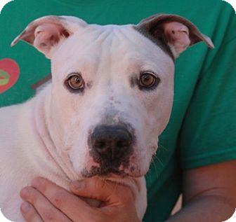 American Staffordshire Terrier/American Pit Bull Terrier Mix Dog for adoption in Las Vegas, Nevada - Esmerelda
