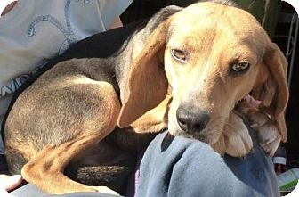 Beagle/Hound (Unknown Type) Mix Dog for adoption in Lexington, Massachusetts - Lindy