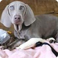 Adopt A Pet :: Liesel - Sun Valley, CA