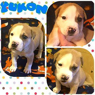 Boston Terrier/Pit Bull Terrier Mix Puppy for adoption in Atlanta, Georgia - Yukon
