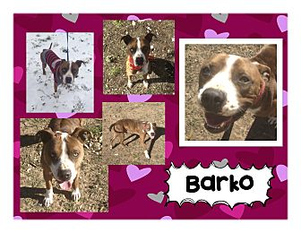 Boxer/American Pit Bull Terrier Mix Dog for adoption in Graford, Texas - Barko