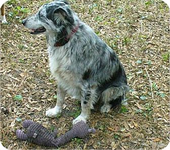 Australian Shepherd Mix Dog for adoption in Trilby, Florida - Salem