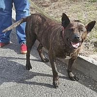 Shepherd (Unknown Type)/Terrier (Unknown Type, Medium) Mix Dog for adoption in Perth Amboy, New Jersey - Jax