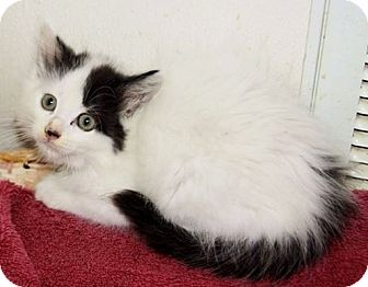 Siamese Kitten for adoption in Grinnell, Iowa - Alec