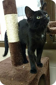 Domestic Shorthair Kitten for adoption in Troy, Ohio - Penny