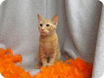 Domestic Shorthair Kitten for adoption in Waldorf, Maryland - Autumn