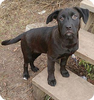 Labrador Retriever/Shepherd (Unknown Type) Mix Puppy for adoption in Duchess, Alberta - Leeloo