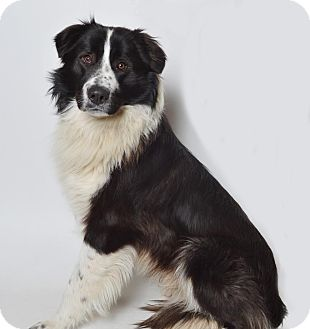 Border Collie/Bernese Mountain Dog Mix Dog for adoption in Fruit Heights, Utah - Skippy