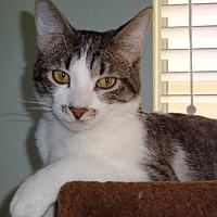 Domestic Shorthair Cat for adoption in Wichita Falls, Texas - Papa Prince