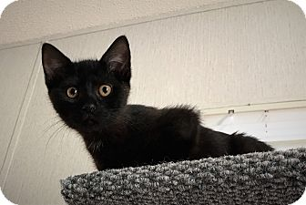 Domestic Shorthair Kitten for adoption in Savannah, Georgia - Atreyu