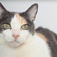 Calico Cat for adoption in Los Angeles, California - Leche