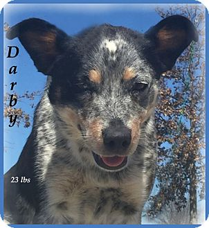 Australian Cattle Dog/Anatolian Shepherd Mix Dog for adoption in Marlborough, Massachusetts - Darby-Very Sweet Dog!
