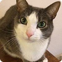 Domestic Shorthair Cat for adoption in San Carlos, California - Barney