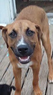 Boxer Mix Dog for adoption in Carthage, North Carolina - Thumper