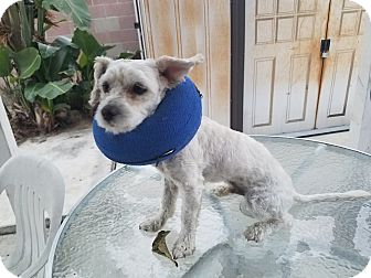 Maltese/Poodle (Toy or Tea Cup) Mix Dog for adoption in Fullerton, California - Jake