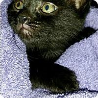 Adopt A Pet :: Nero - Island Park, NY