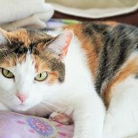 Manx Cat for adoption in Amelia, Ohio - Lily