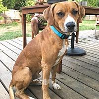 Adopt A Pet :: Beau - Manhasset, NY