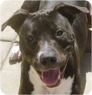 Pit Bull Terrier Mix Puppy for adoption in San Diego, California - Bella