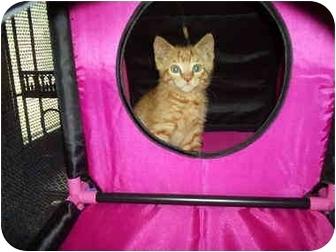 Domestic Shorthair Kitten for adoption in Plainfield, Illinois - Simba