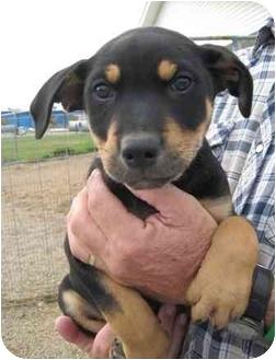 Labrador Retriever/Shepherd (Unknown Type) Mix Puppy for adoption in Florence, Indiana - Tucker