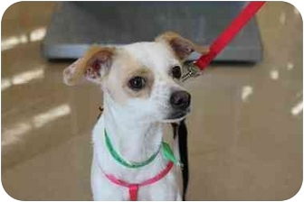 Chihuahua/Jack Russell Terrier Mix Dog for adoption in Homestead, Florida - October