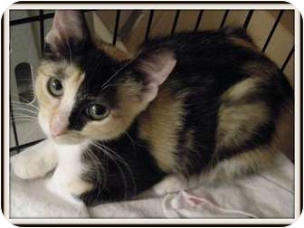 Calico Kitten for adoption in Hurst, Texas - Willow-aka Cinnamon Bun