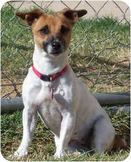 Jack Russell Terrier Dog for adoption in Phoenix, Arizona - LIBERTY (Libby)