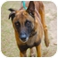 Photo 1 - Dutch Shepherd Mix Dog for adoption in Preston, Connecticut - Marzaan