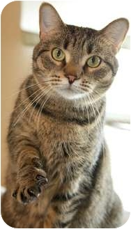 Domestic Shorthair Cat for adoption in Worcester, Massachusetts - Flicka