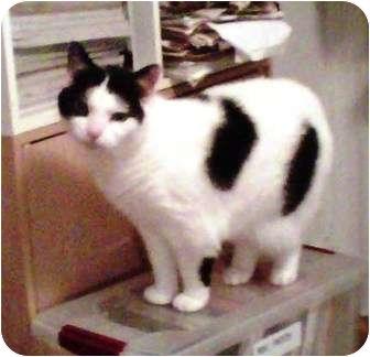 Domestic Shorthair Cat for adoption in Medford, Massachusetts - Babe