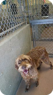 Wirehaired Pointing Griffon Mix Dog for adoption in Jerome, Idaho - Sooki #5090
