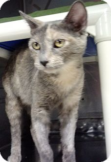 Domestic Shorthair Cat for adoption in Stillwater, Oklahoma - Cleo