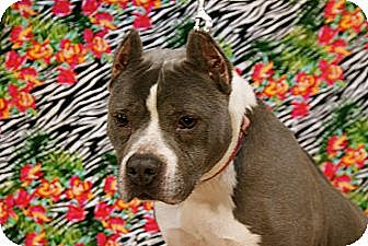 American Pit Bull Terrier Dog for adoption in Detroit, Michigan - Lexi