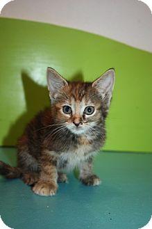 Domestic Shorthair Kitten for adoption in Stilwell, Oklahoma - Lucy