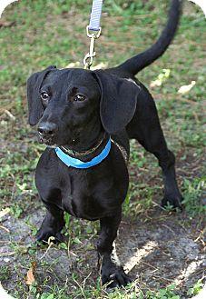 Dachshund Mix Dog for adoption in Englewood, Florida - John John