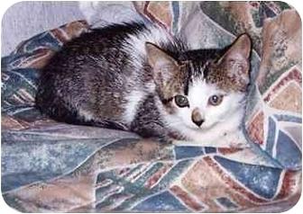Domestic Shorthair Cat for adoption in Owatonna, Minnesota - Rosa