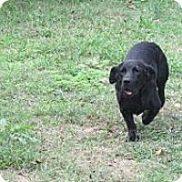 Adopt A Pet :: LICORICE - CHICAGO, IL
