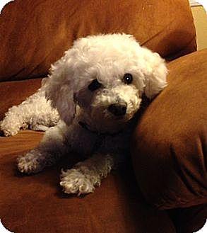 Bichon Frise Dog for adoption in Glastonbury, Connecticut - Lovie