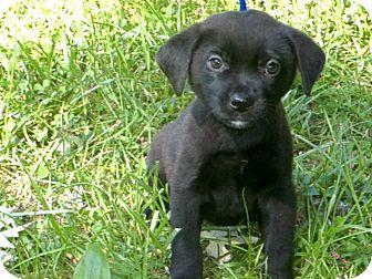 Border Collie/Labrador Retriever Mix Puppy for adoption in Sunset Hills, Missouri - Joey