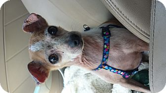 Chihuahua/Terrier (Unknown Type, Small) Mix Dog for adoption in Fowler, California - Rocko