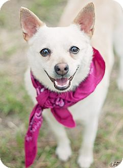 Chihuahua Mix Dog for adoption in Houston, Texas - Tula