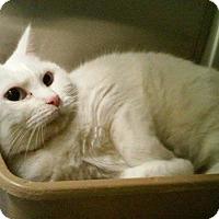 Adopt A Pet :: Misty - Eagan, MN